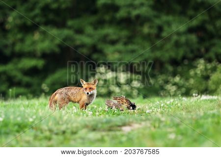 Red fox with prey on meadow - Vulpes vulpes