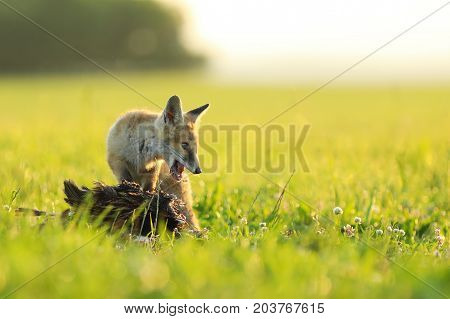 Young red fox vixen protect catched bird on meadow in the morning - Vulpes vulpes