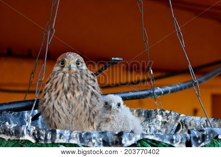 Two kestrels pose in a peculiar nest