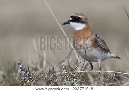 lesser sand plover which stands near the nest on the bank of the river in the early morning