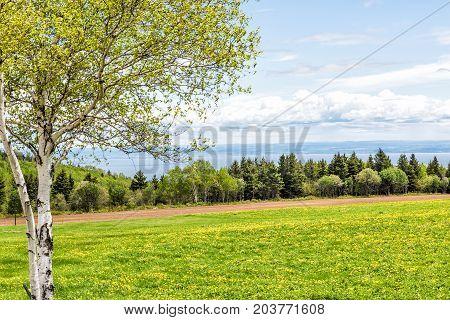 Plowed Farm Furrow Field Of Yellow Dandelion Flowers, White Birch Tree In Quebec, Canada Charlevoix