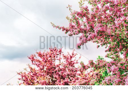 Vibrant vivid pink cherry blossoms with green leaves foliage on tree branch isolated against grey stormy sky in Saguenay Quebec Canada