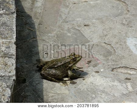 Frog On Concrete. Jumping On The Concrete Frog.