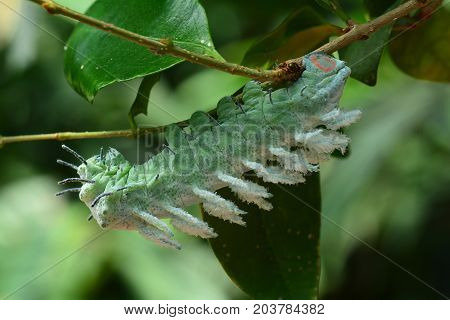 A large owl butterfly caterpillar eats its way along the branch.