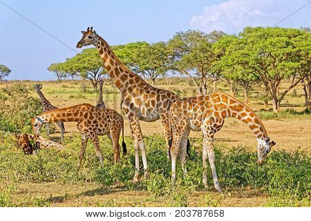 A small herd of giraffes feeding in natural habitat Murchison Falls National Park Uganda Africa.
