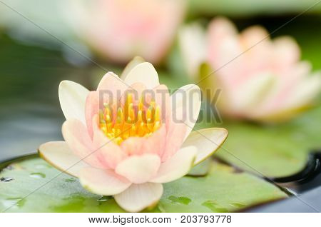 Pink waterlily flower blossom in a pond,decoration flowers