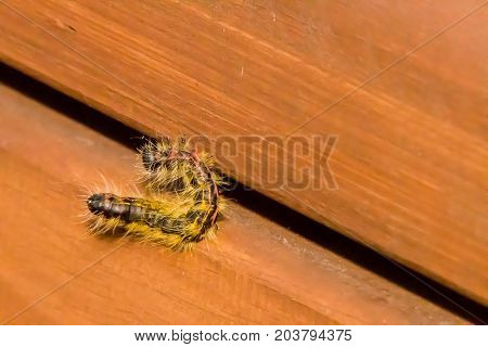 Closeup of a black hairy caterpillar crawling on a wooden park bench