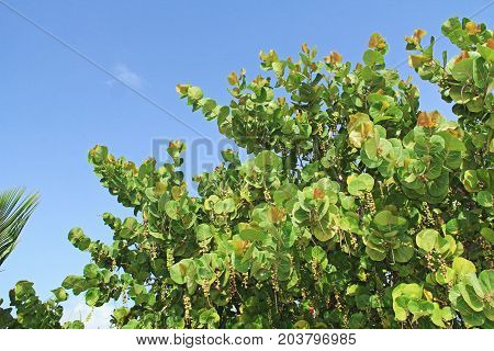 The top of a sea grape tree with blue sky copy space in Antigua Barbuda Lesser Antilles, West Indies, Caribbean.