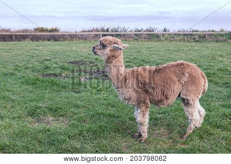 side view full body of alpaca in ranch farm