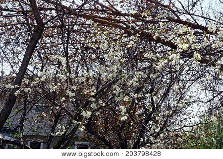 A Stanley plum tree (Prunus domestica) blossoms during April, in the back yard of a home in Joliet, Illinois.