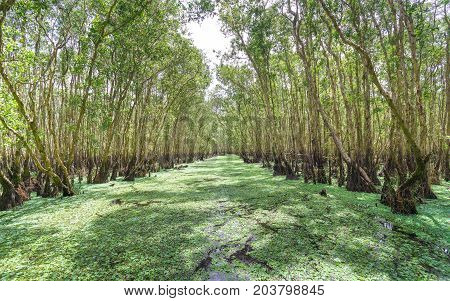 Melaleuca forest in sunny morning with a path melaleuca trees along canal covered with flowers to create rich vegetation of the mangroves. This is green lung that needs to be preserved in nature