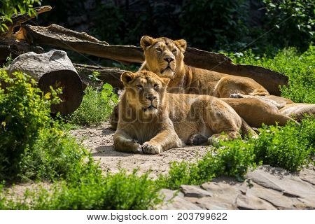 lion pride rests after hunting, male and female Asian lion