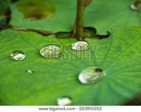 Water drop on lotus green leaf in pond