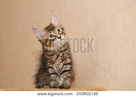 A cute little bobtail kitten looks up. Pets. Hypoallergenic cat breed. Portrait of a tabby cat.