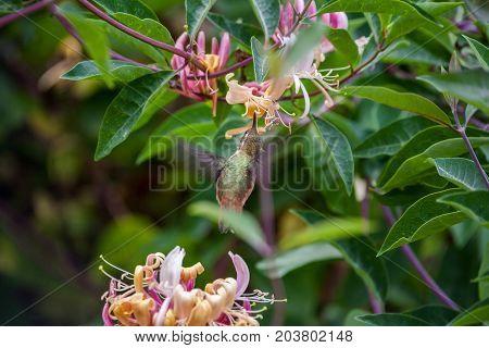 Annas Hummingbird flying and feeding on pink flowers