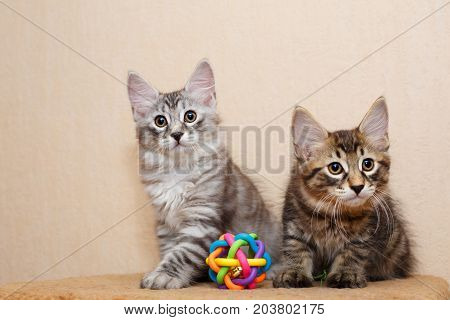 Two cute little kitty bobtail and toy. Pets. Hypoallergenic cat breed. Portrait of a tabby cat.