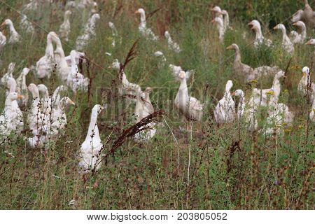 A Flock Of White Geese Grazes In The Clearing