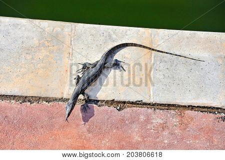 Malaysian monitor lizard varan (varanus salvator) in melacca malaysia