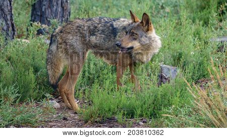 Whole wet Canis Lupus Signatus in the bush looking backward, side view
