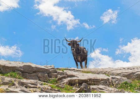 Cow with a hand bell on a neck on a pasture in mountains. A bright green grass on stones a cow silhouette against the background of the blue sky. The cow looks from above at the viewer in sunny summer day