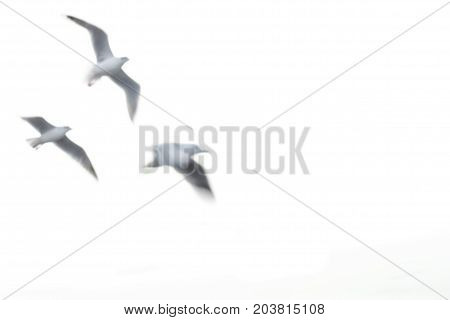Blury seagull flying on white background. Flying seagul.