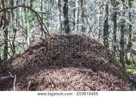 A large anthill in the forest. Big anthill in the woods.