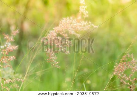 Soft  focus of grass flowers beside the way in the morning on the sunrise.