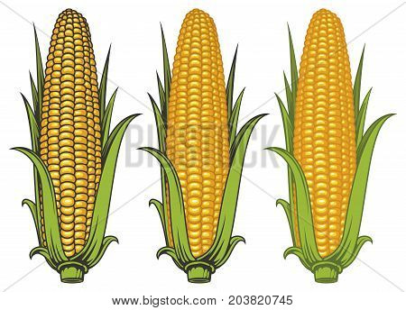 Set of vector images of corncobs with yellow corns and green leaves on a white background. Realistic illustration of the ripe corn on the cob. Design element