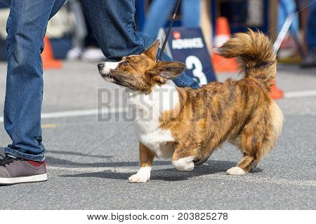 Welsh Corgi gaily walking along the road next to the owner. 2018 year of the dog in the eastern calendar. Concept: cute, home, friend, love, affection, kindness, care