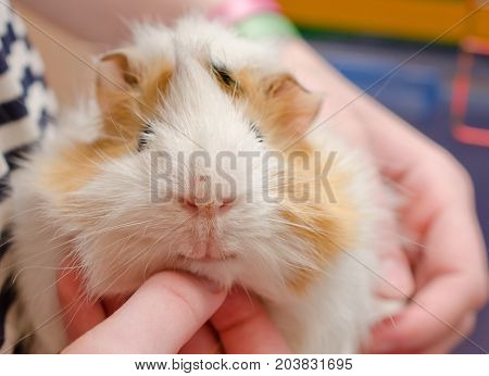 Happy guinea pig (with a human hand scratching the guinea pig under its chin) selective focus on the guinea pig mouth and nose
