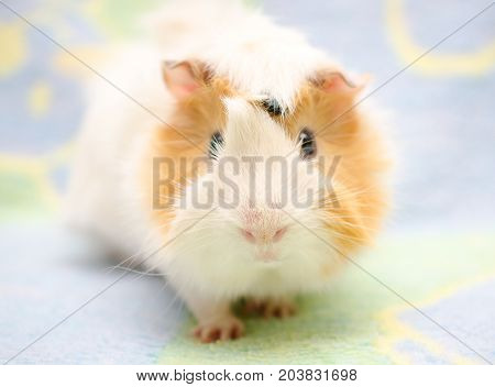 Cute Abyssinian guinea pig looking straight into the camera against a bright background (shallow DOF selective focus on the guinea pig nose)