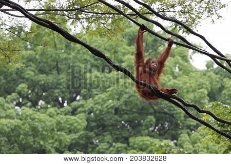 Orangutan In Singapore Zoo