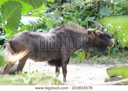 wildebeest in a Singapore Zoo with a nature background