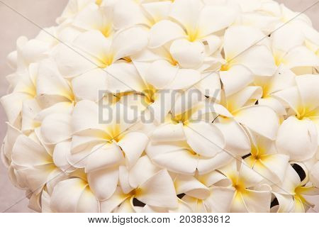 White frangipani spa flowers background, close up