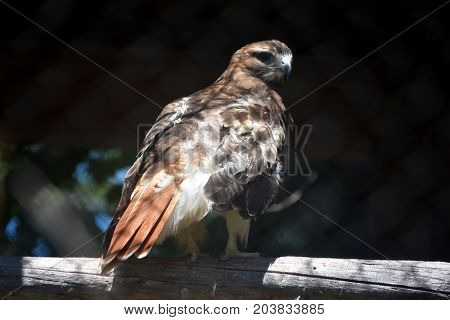 Amazing Red Tail Hawk Looking All Around