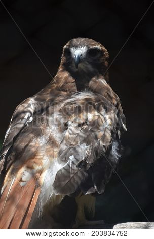 Amazing Red Tail Hawk Turning Backwards to Look Around
