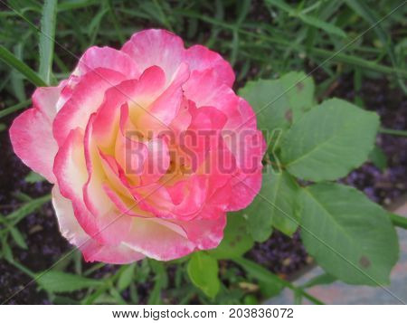 Delicate pink and white rose on a background of green leaves in the flower bed in the Park.