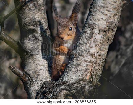 Cute adorable squirrel sitting in a V-shaped birch stem.