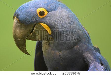 Beautiful Blue and Yellow Hyacinth Macaw Up Close