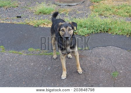 Homeless dog with a yellow tag looks with hope. Animals