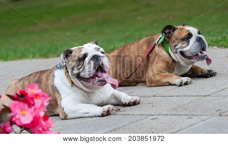 two funny English Bulldogs or British Bulldogs in the park near the flowers