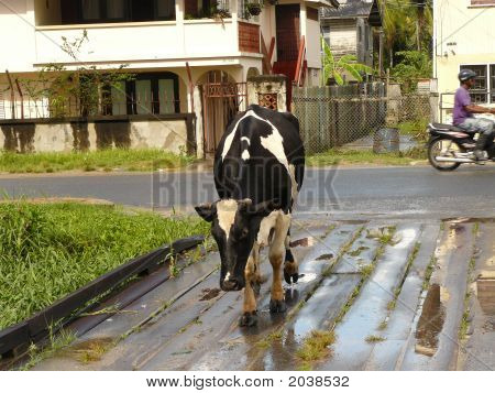 Cow Walking Down Road