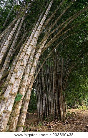 tall bamboo shoots in the Amazon area of Ecuador