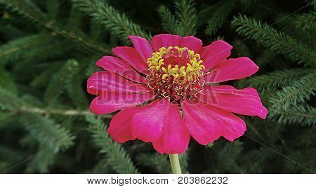 Zinnia. Pink flower of Zinnia. Flower of Zinnia. Floral background.Common Zinnia. Zinnia elegans. Classic Zinnia. Pink flower.