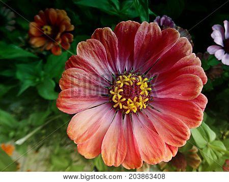 Zinnia. Orange flower of Zinnia. Flower of Zinnia. Floral background.Common Zinnia. Zinnia elegans. Classic Zinnia. Orange flower.