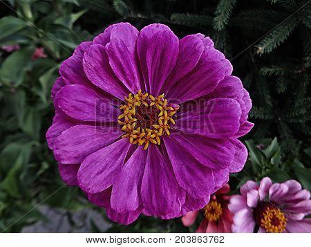 Zinnia. Lilac flower of Zinnia. Flower of Zinnia. Floral background.Common Zinnia. Zinnia elegans. Classic Zinnia. Lilac flower. Purple flower.