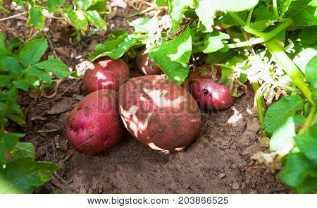 fresh organic potatoes in the field with green harvesting potatoes on the ground on a background of field