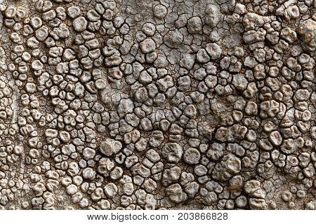 A macro photo of the grey sunken disk lichen Aspicilia calcarea.