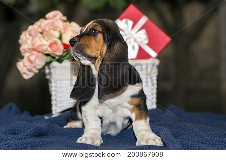 Sweet Little Gentle Puppy Basset Hound With Sad Eyes And Very Long Ears