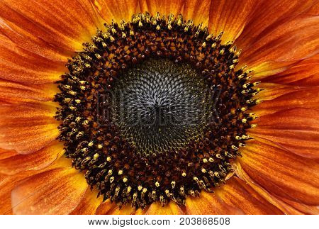 Close up of an orange and yellow sunflower